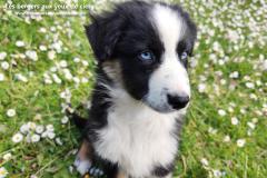 chiot femelle berger australien noir tricolore aux yeux bleus