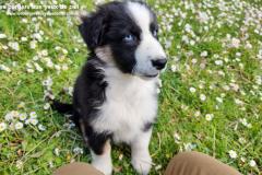 femelle berger australien noire tricolore aux yeux bleus