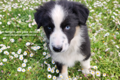 femelle berger australien tricolore aux yeux bleus