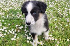 femelle berger australien noir tricolore aux yeux bleus