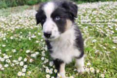 chienne berger australien noir tricolore aux yeux bleus