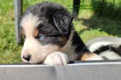 chiot noir tricolore aux yeux bleus