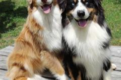 chien de race berger australien
