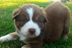 Fantômas berger australien rouge tricolore aux yeux bleus