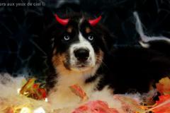 halloween,les bergers aux yeux de ciel