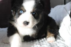 berger australien aux yeux bleus