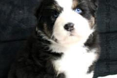 bergers australiens aux yeux bleus