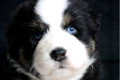 femelle berger australien aux yeux bleus