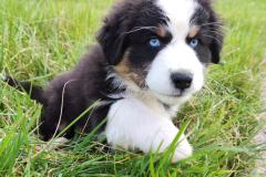 chiot berger australien noir tricolore aux yeux bleu