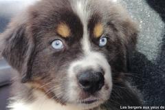 chiot berger australien noir tricolore aux yeux bleus
