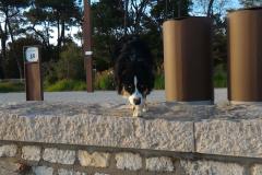 un-berger-australien-a-la-plage-1