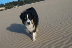 un-berger-australien-a-la-plage-15