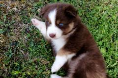 australien rouge tricolore aux yeux bleus