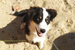 cherche femelle berger australien noir tricolore aux yeux bleu