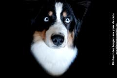 Élevage berger australien noir tricolore aux yeux bleus