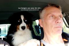 élevage berger australien tricolore aux yeux bleus