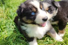 Rimbaud chiot noir tricolore aux yeux bleus
