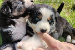 chiot tricolore aux yeux bleus