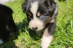 Rimbaud chiot berger australien noir tricolore aux yeux bleus