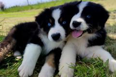 Rimbaud des bergers aux yeux de ciel, berger australien noir tricolore aux yeux bleus