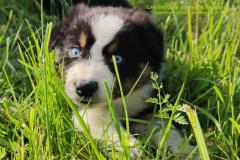 berger australien noir tricolore aux yeux bleus